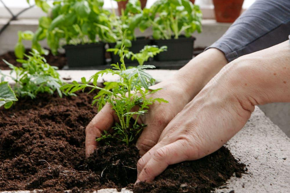 Händer som sätter en planta i jord.
