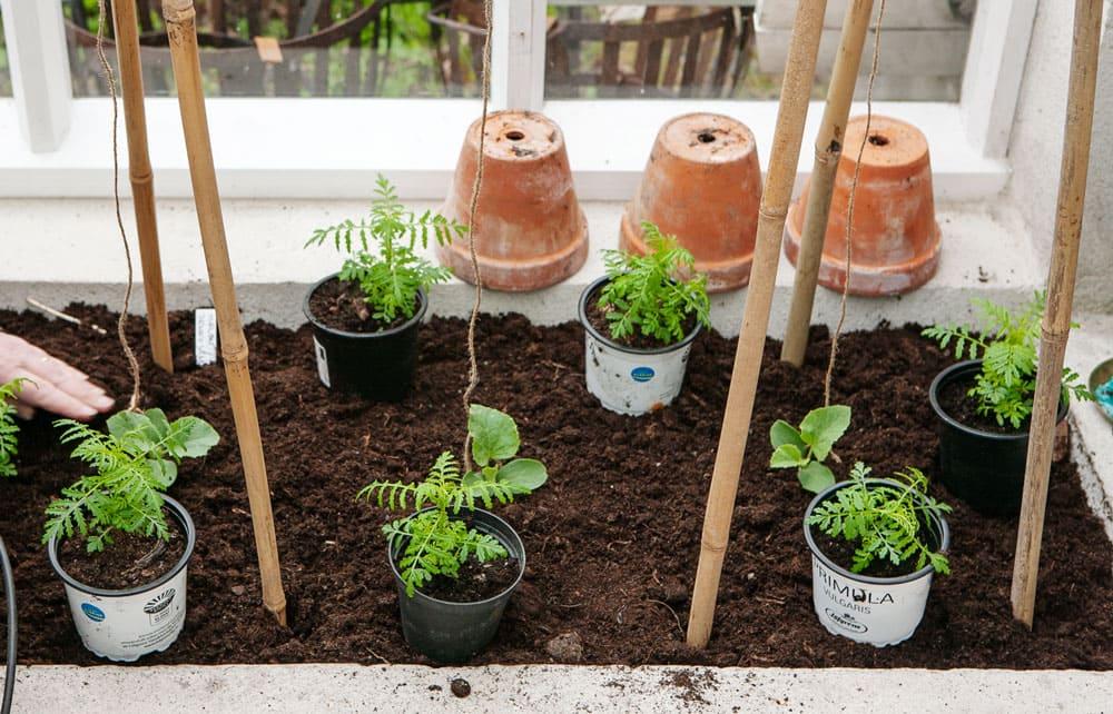 Småplanto som ska planteras i odlingsbädd.
