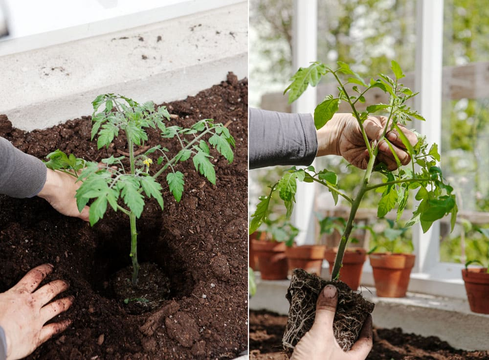 Tpm,atplantor som planteras och tjuvas.