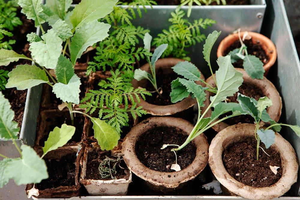 Småplantsodling i växthus.