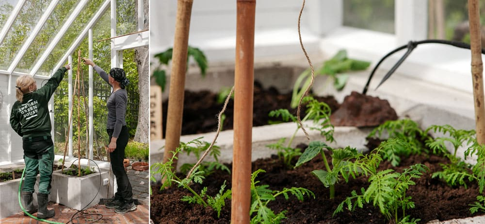 Tå kvinnor binder upp gurkplanta mot bambukäpp.