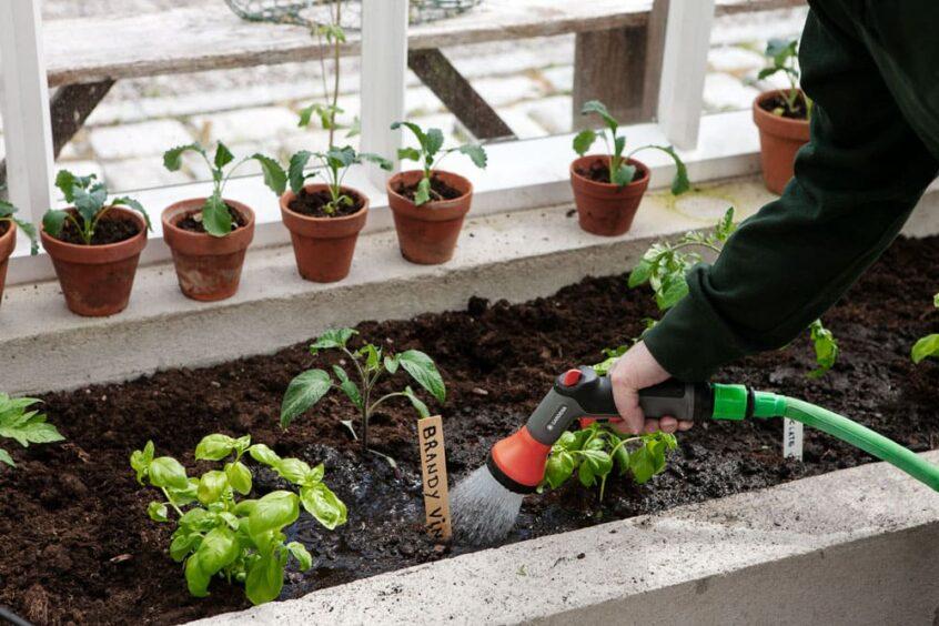 Arm som vattnar jordbäddar i växthus.