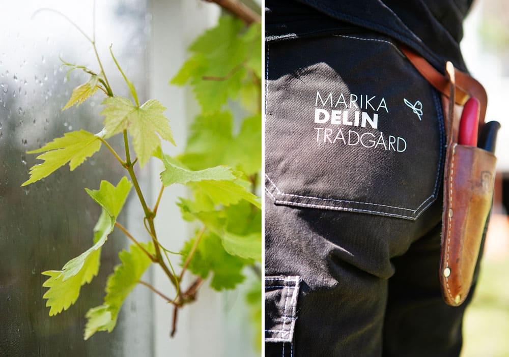 Vinranka med ljusa blad i växthus.