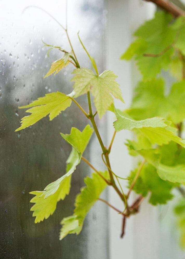 Vinranka med ljust gröna blad.