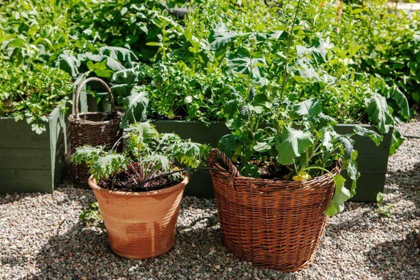 Köksträdgård i korgar och odlingsbäddar.