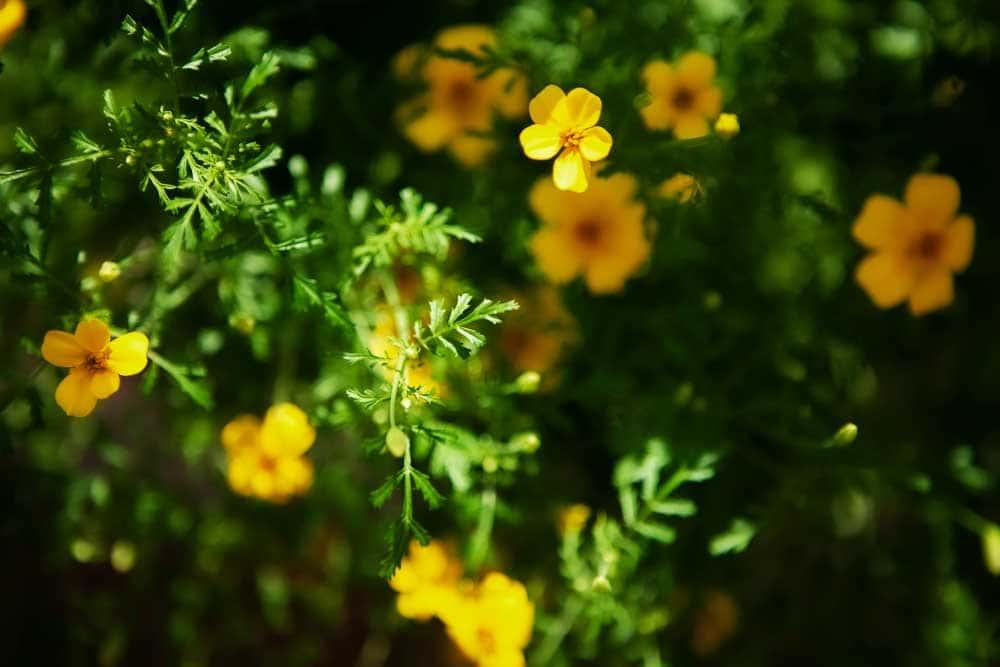 Gula blommor i jordbädd.