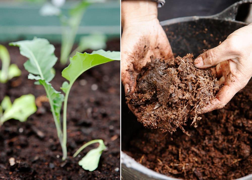 Liten kålplanta och händer i gödselhink.
