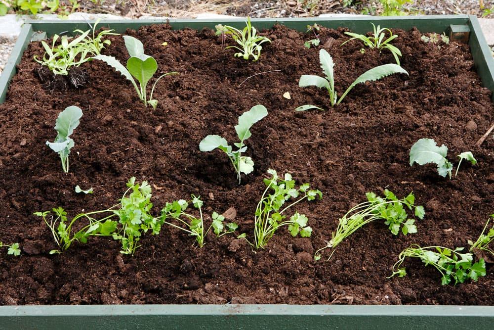 Odlingsbäddar med plantor.