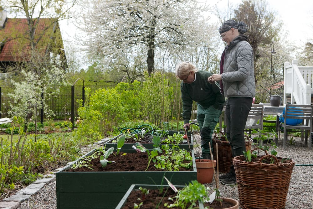 Ett par kvinnor sätter grönsaksplanor i jordbäddar.