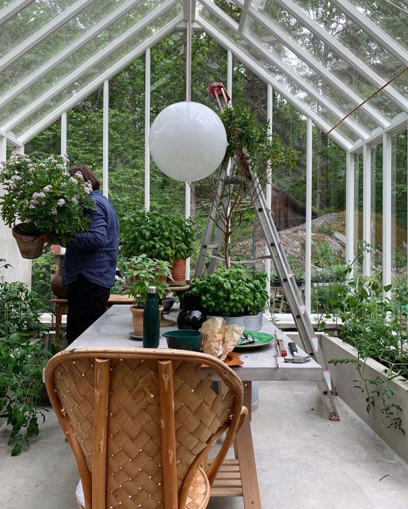Man med stor doftpelargon i växthus.