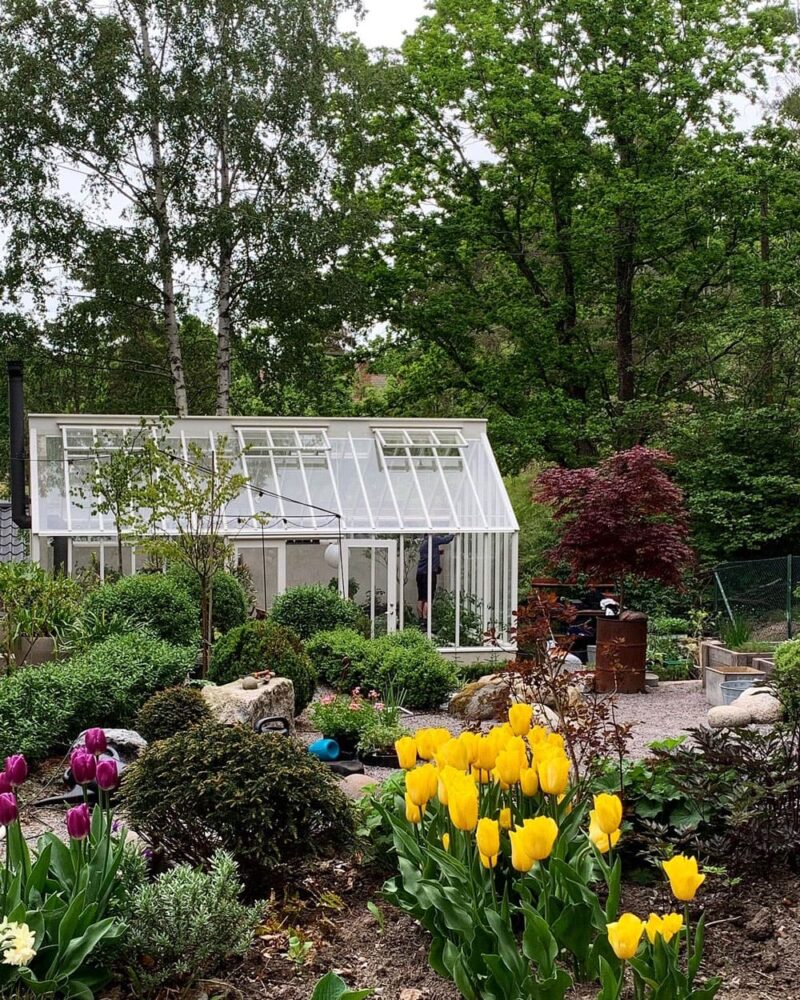 Ett vitt växthus bakom rabatt med gula tulpaner.