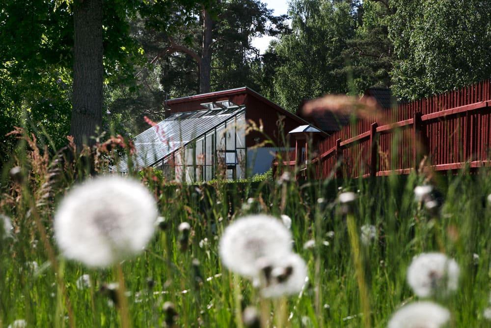 Grönt växthus bakom maskrosbollar.