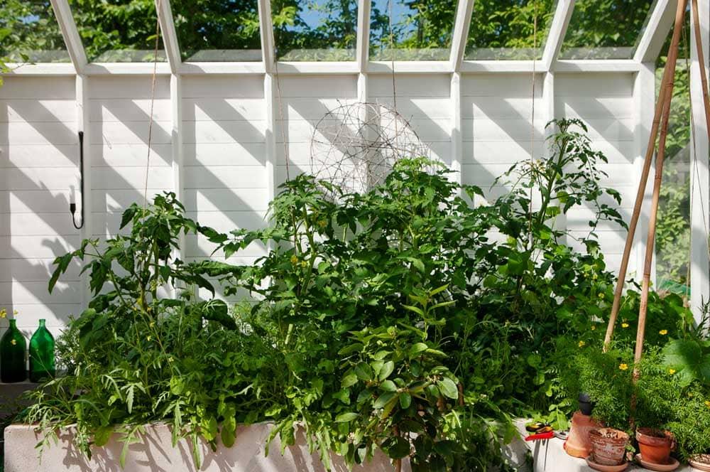 Växthusets odlingsbäddar i juni.