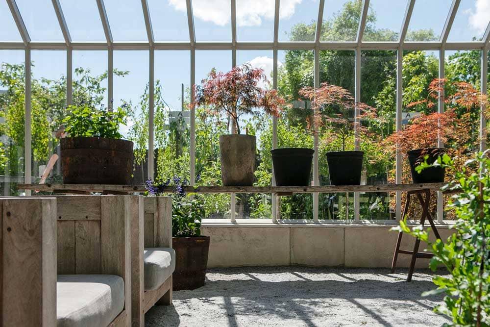 Krukodlade lönnar i växthus.