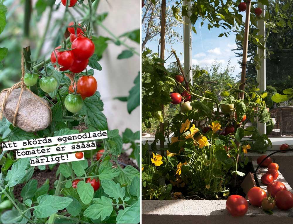 Tomatplanta stöttad med stenförsett snöre.