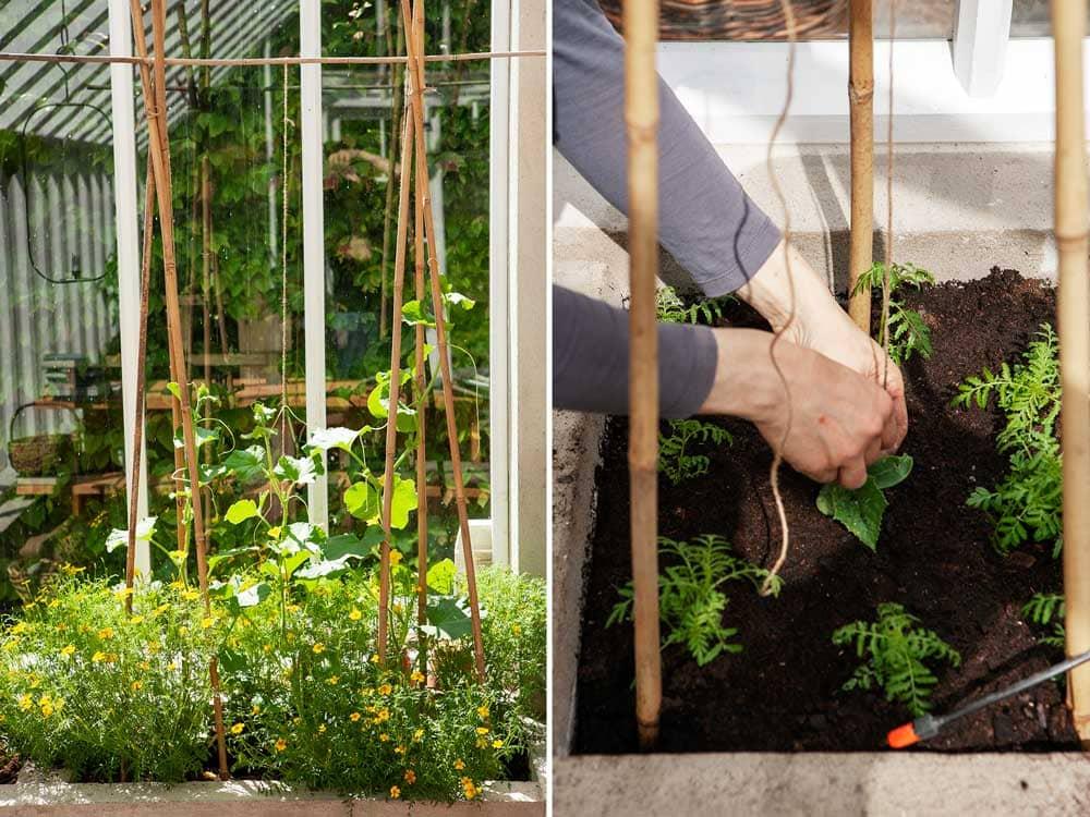 Bambupinnar som stöd för växthusodlingar.