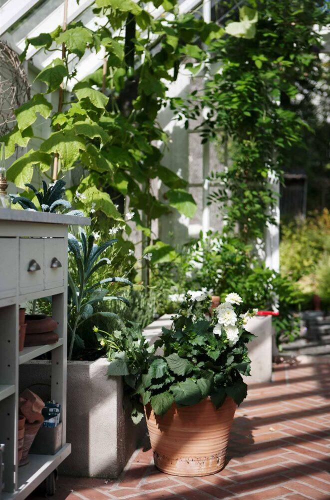 Växthusinteriör med blommor och gurkplantor.