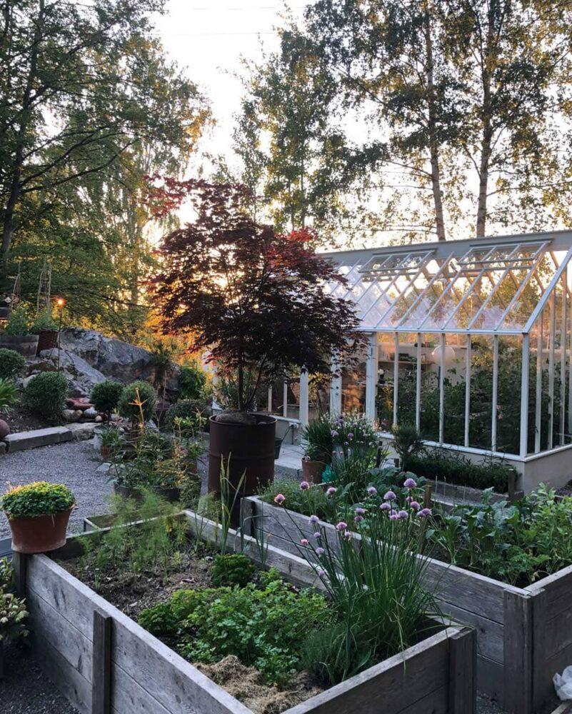 Växthus bakom upphöjda jordbäddar och blodlönn.