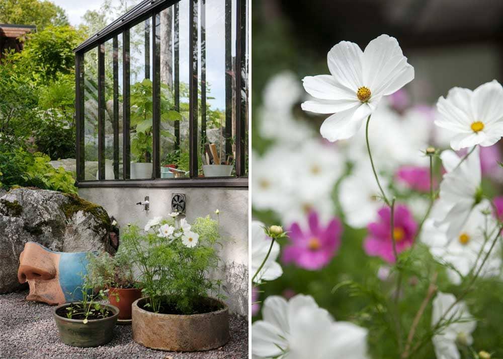 Vita blommor i kruka framför växthus.