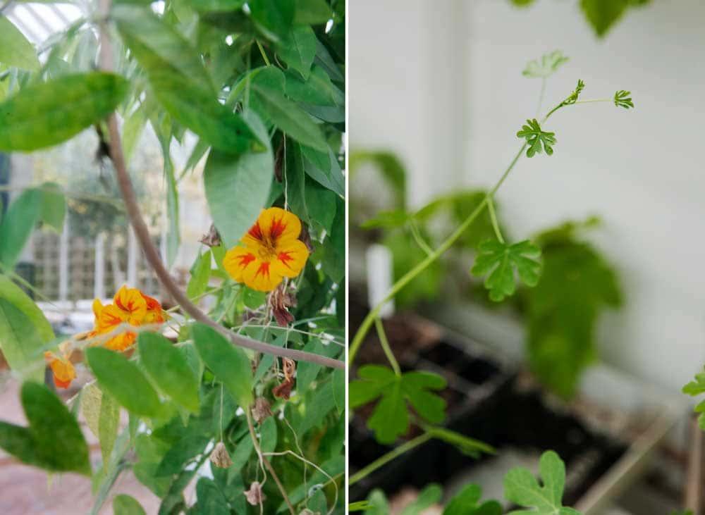 Gula blommor bakom växthusglas.