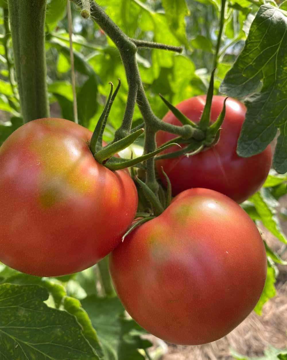 Tomatklase