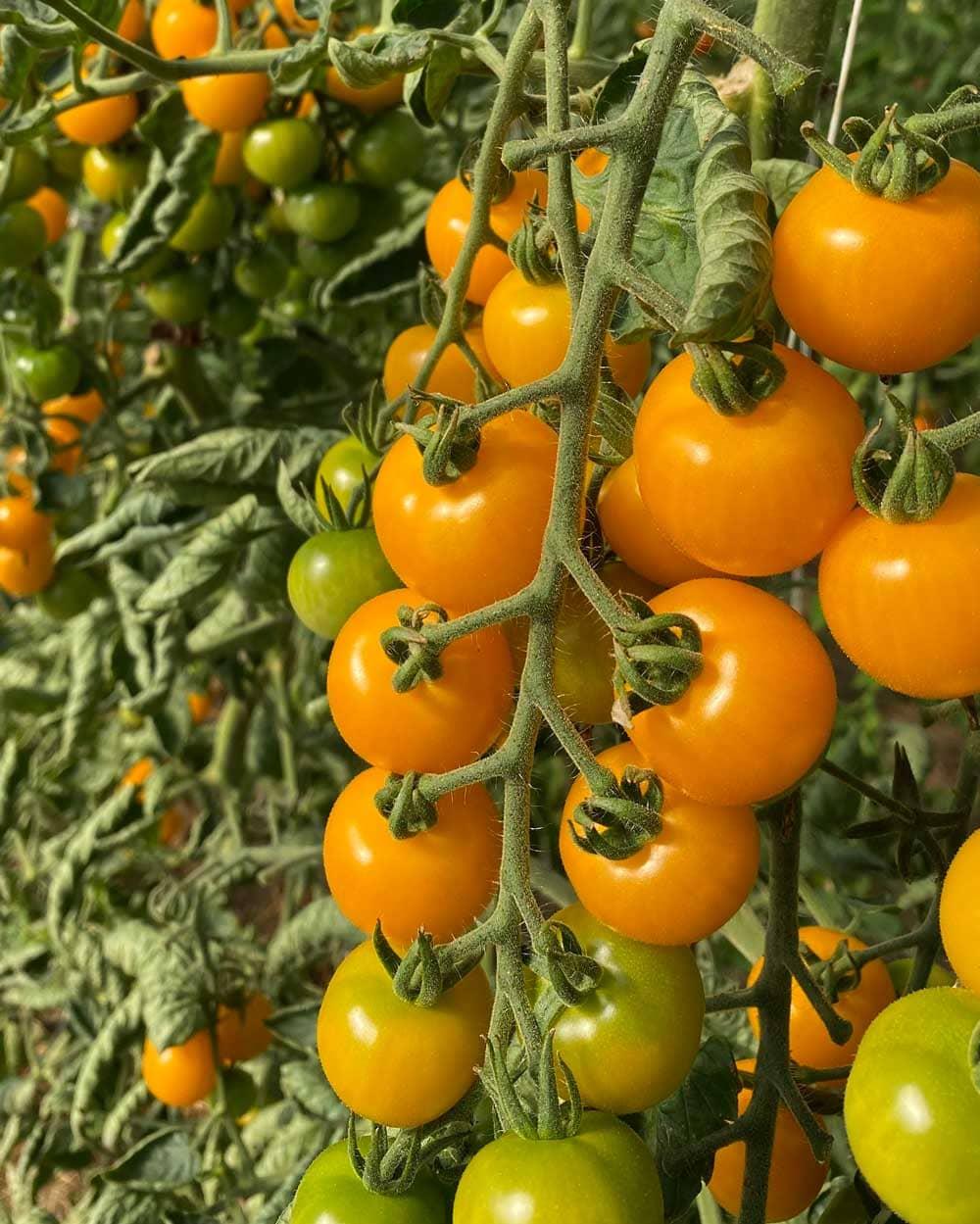 Gula tomater i klase.