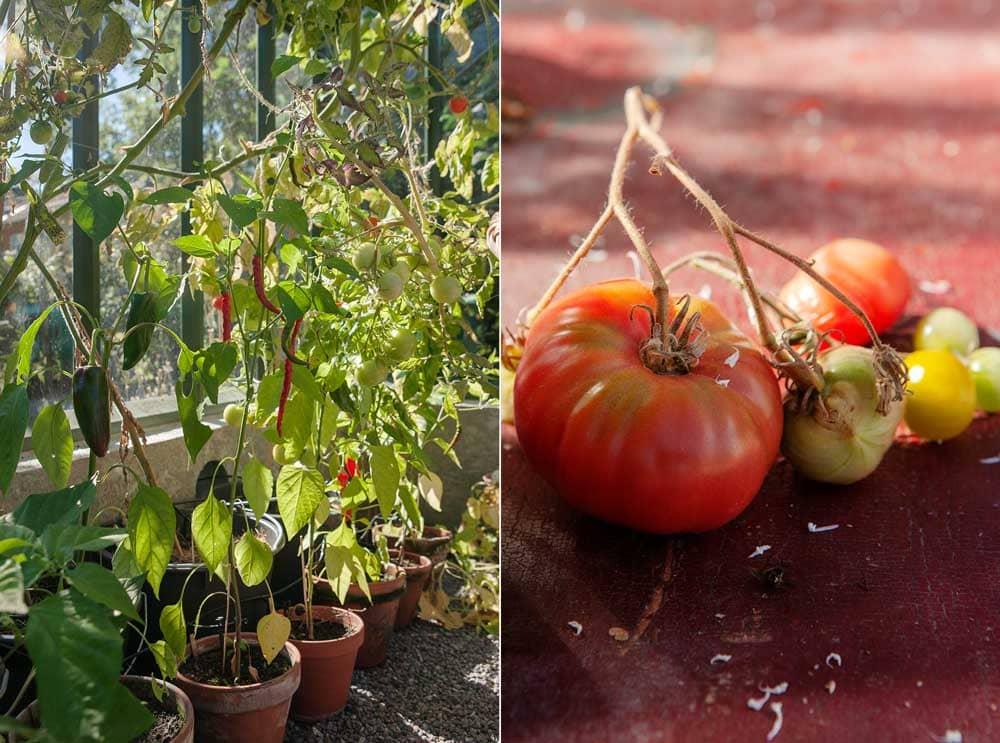 tomatodling i kruka i växthus.