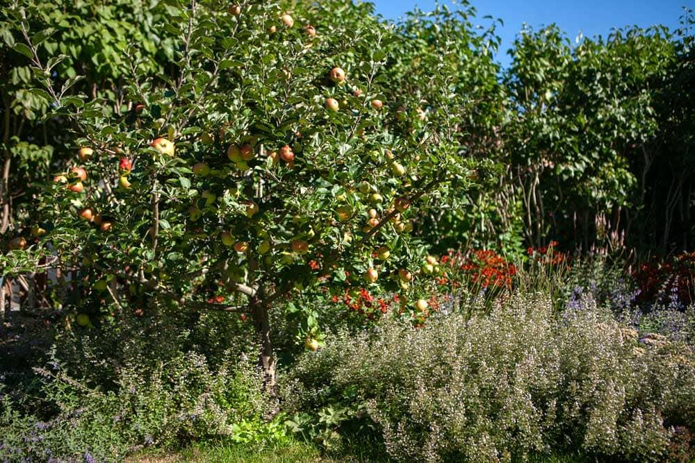 Rabatt med solbrud, stenkyndel och låga äppelträd.