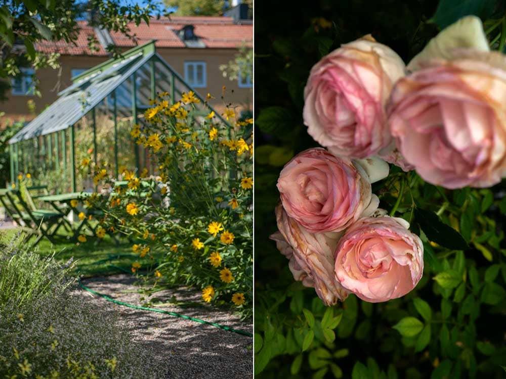 Grönt växthus och rosa rosor.