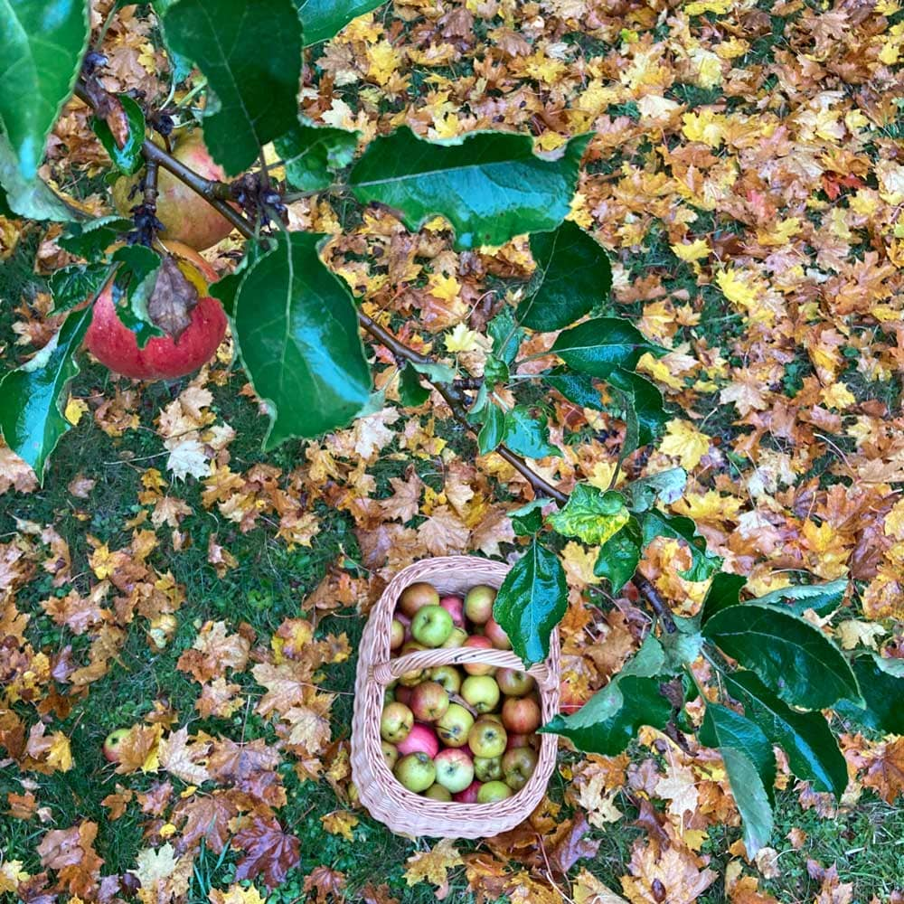 Korg med äpplen bland höstlöv.