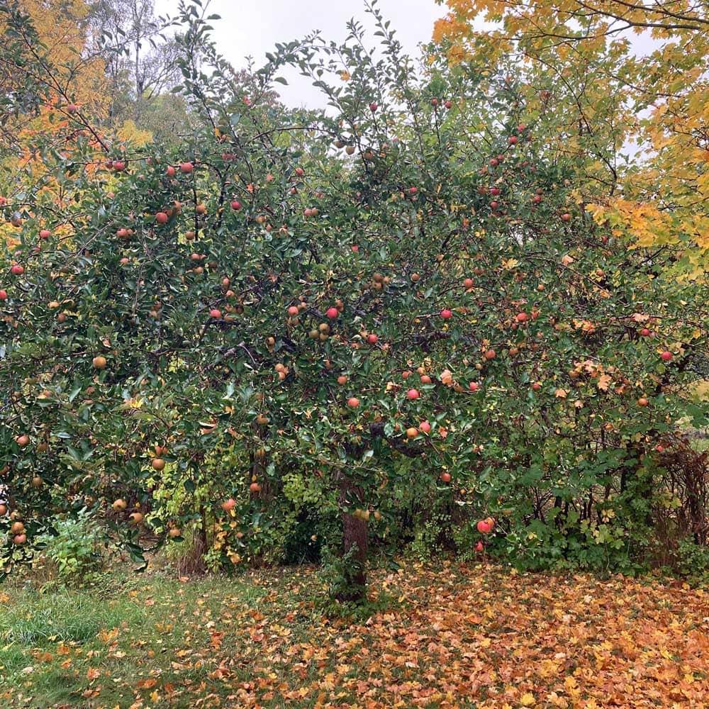 Äppelträd full med frukt.
