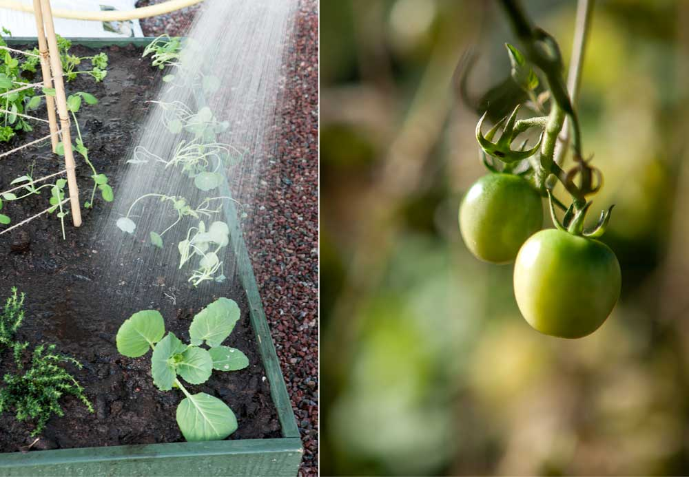 Gröna tomater på kvist och vattenstråle från kanna.