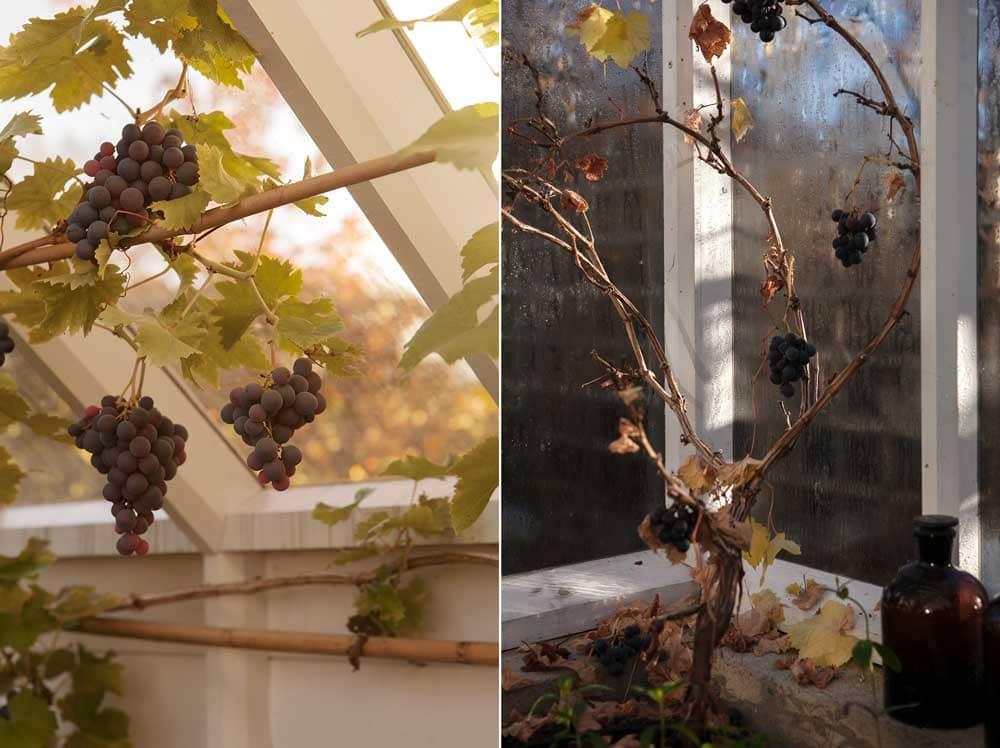 Vinranka på hösten.