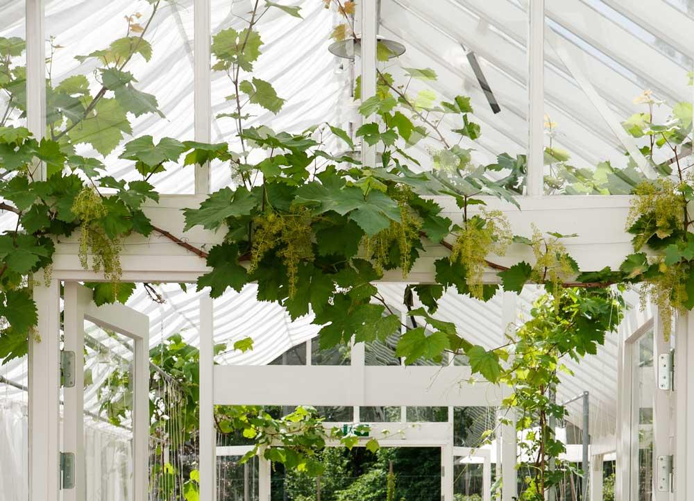 Vinranka över växthusdörr.