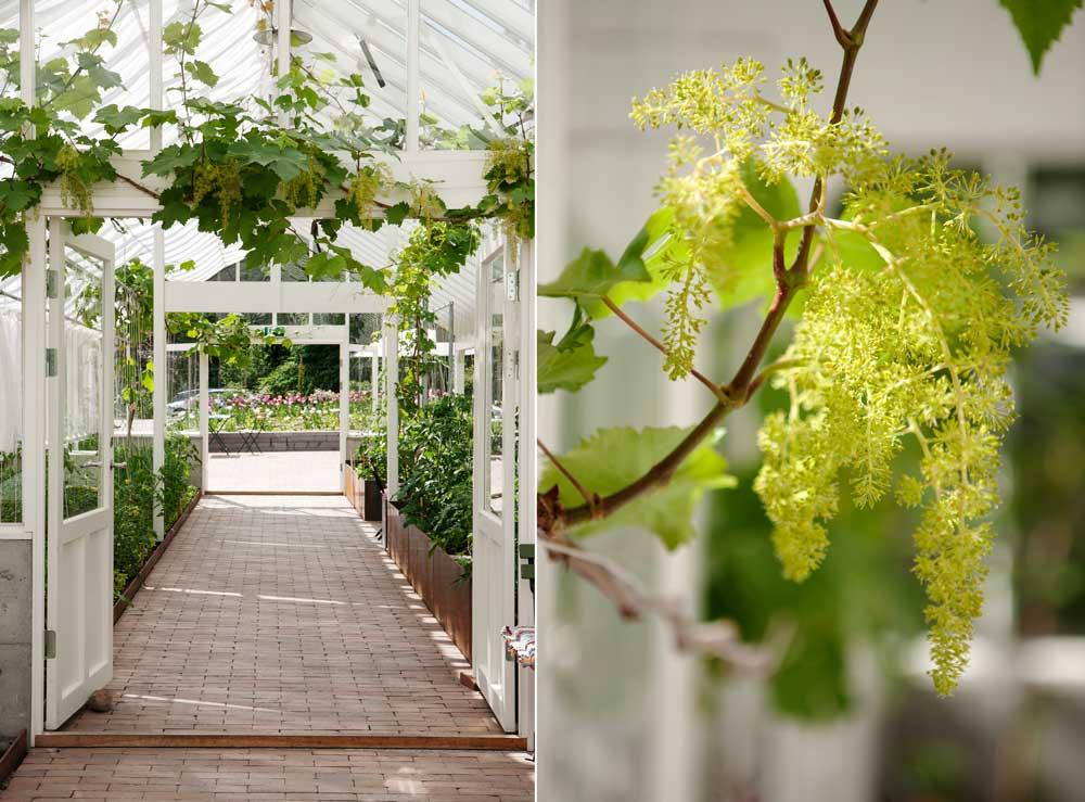 Vinranka på våren