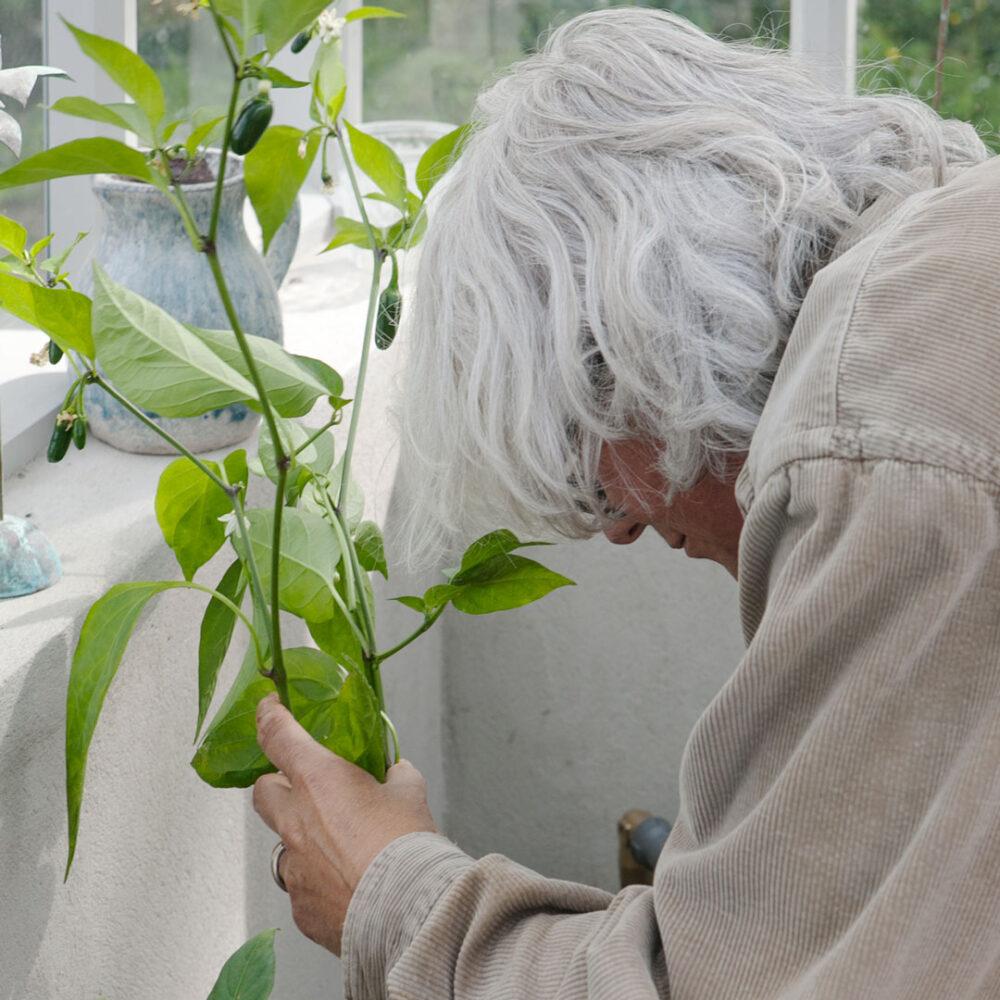 Kvinna planterar chiliplanta i växthus.
