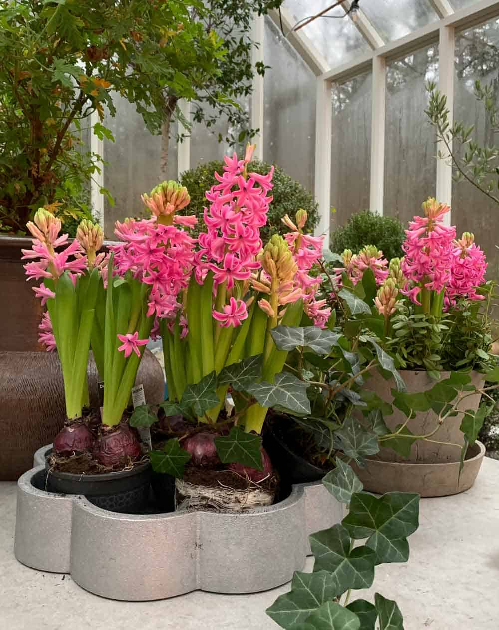 Blommande hyacintfat.
