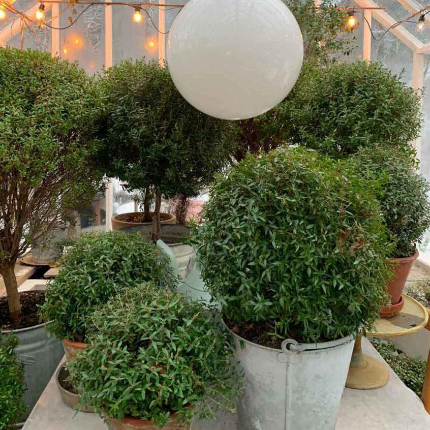 myrtenträd i förvaring i växthus.