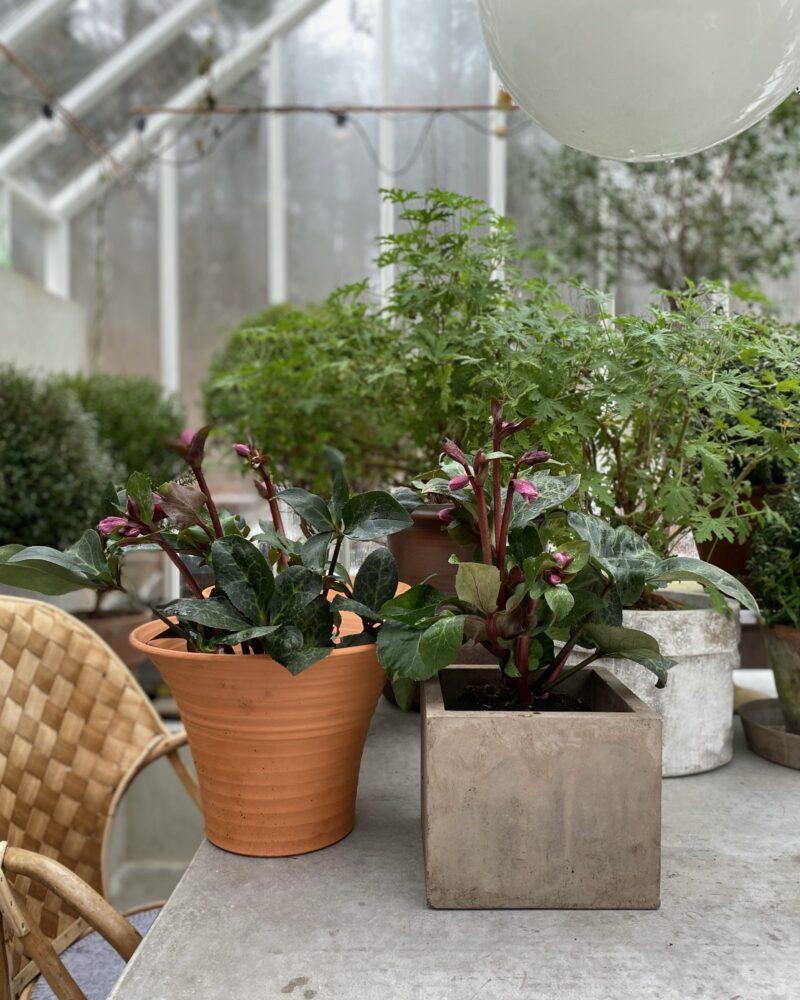 Växter Svante