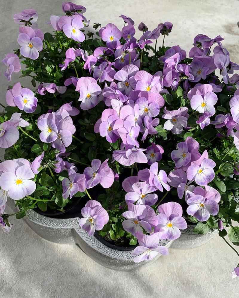 violetta violer i aluminiumfat.