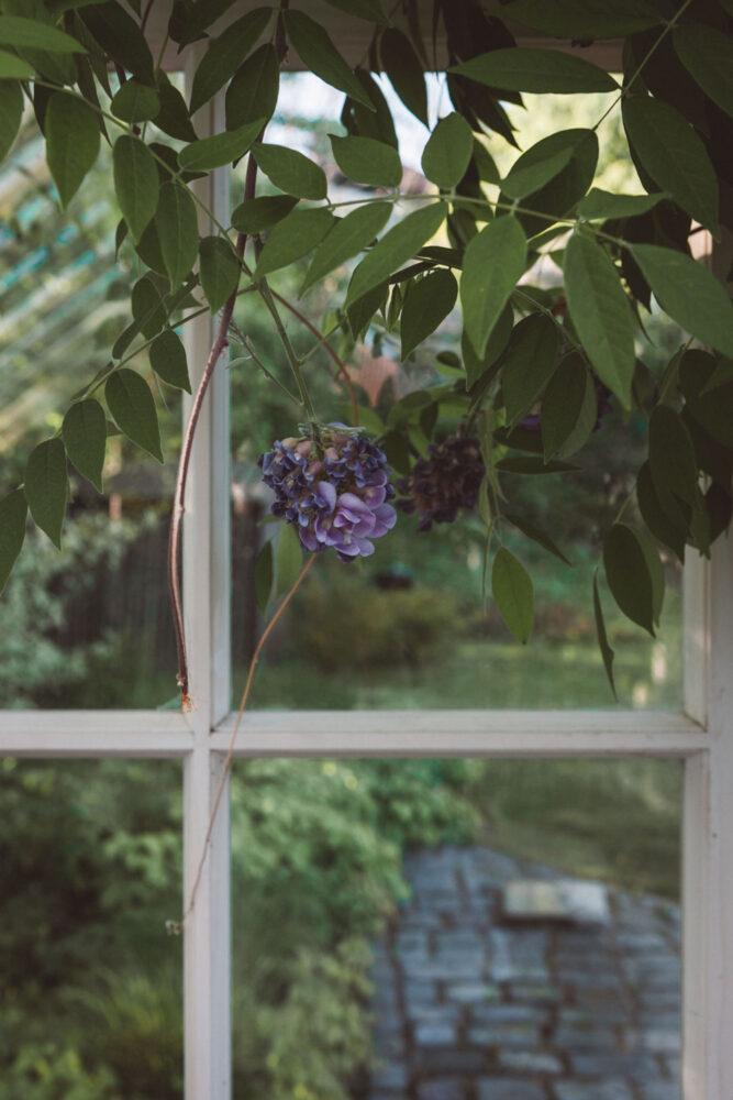 Blåregn framför växthusglas.