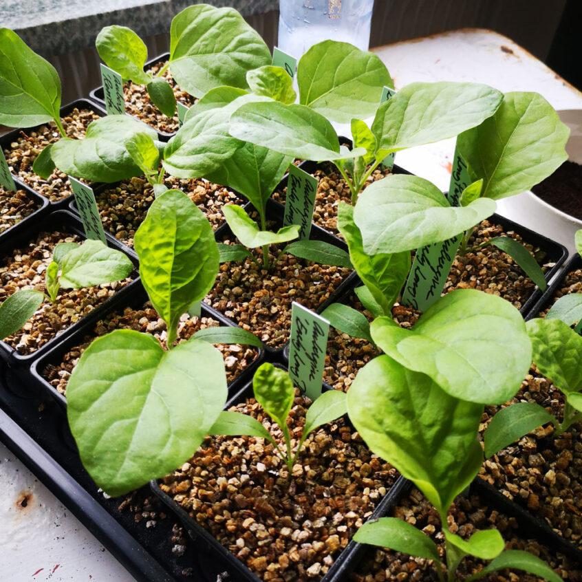 Försådda småplantor.