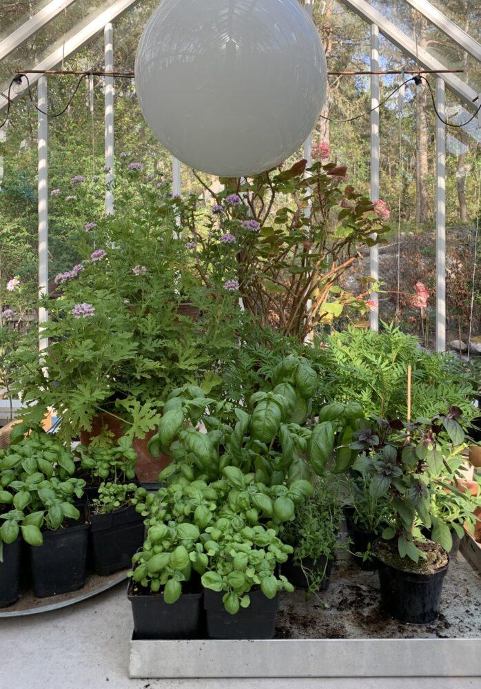 Tomatodling i växthus.