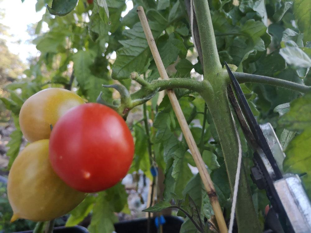Rodnande tomater på planta.