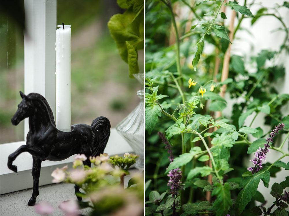 Svart hästjusstake i växthus.