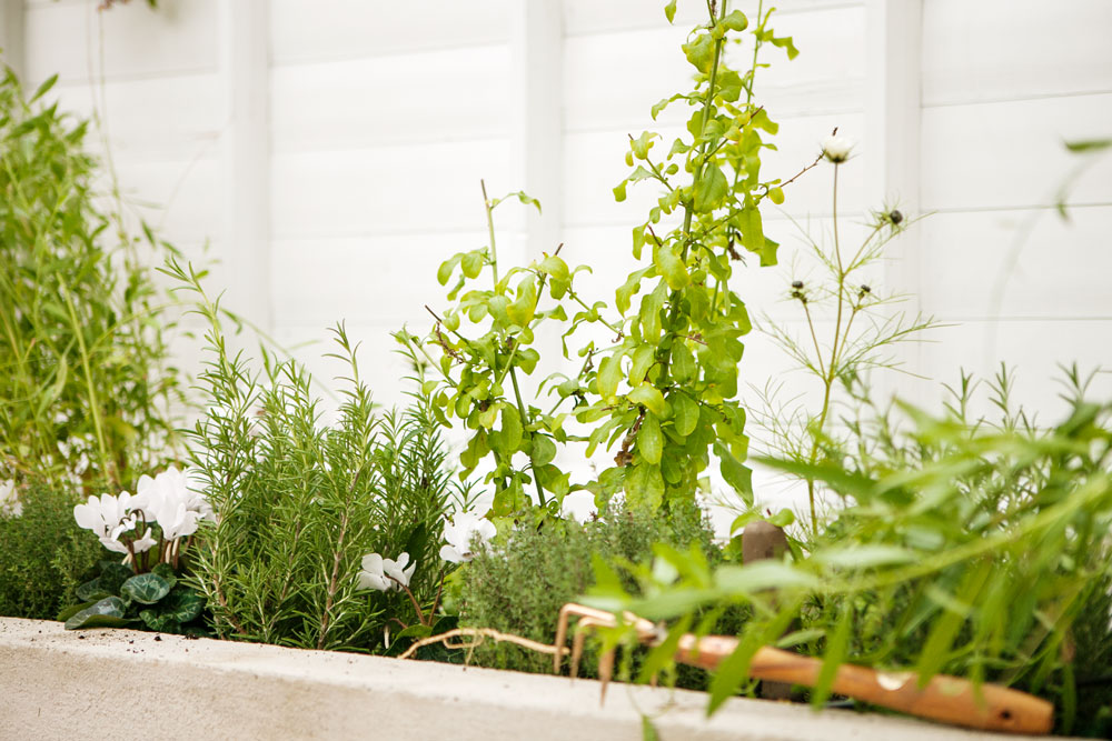 Rosmarin i odlingsbäddar i vaxthus.
